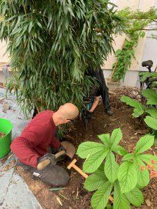 Bambus ausgraben